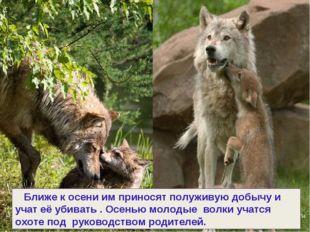 Ближе к осени им приносят полуживую добычу и учат её убивать . Осенью молоды
