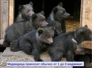 Медведица приносит обычно от 1 до 6 медвежат.
