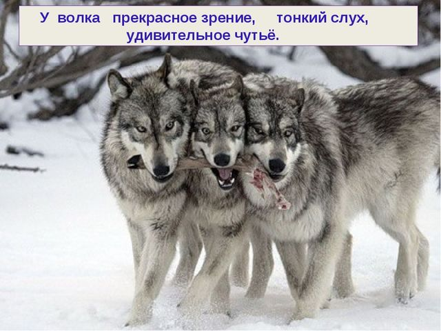 У волка прекрасное зрение, тонкий слух, удивительное чутьё.