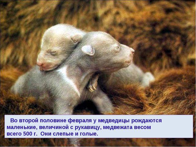 Во второй половине февраля у медведицы рождаются маленькие, величиной с рука...