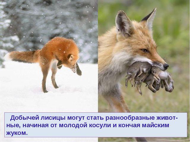 Добычей лисицы могут стать разнообразные живот-ные, начиная от молодой косул...