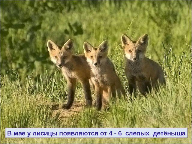 В мае у лисицы появляются от 4 - 6 слепых детёныша