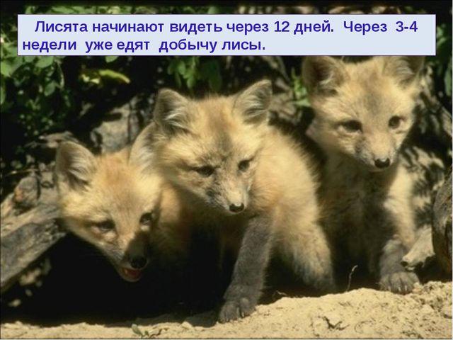 Лисята начинают видеть через 12 дней. Через 3-4 недели уже едят добычу лисы.
