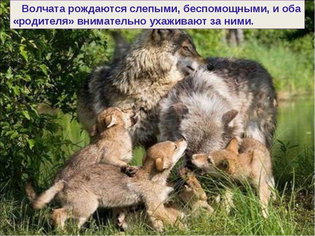Волчата рождаются слепыми, беспомощными, и оба «родителя» внимательно ухажив...