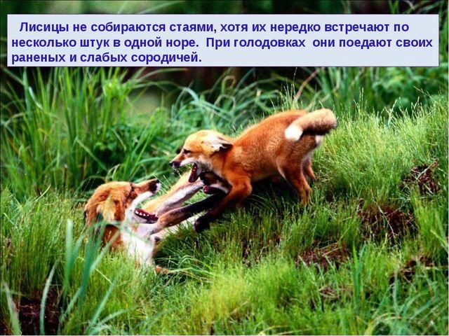 Лисицы не собираются стаями, хотя их нередко встречают по несколько штук в о...