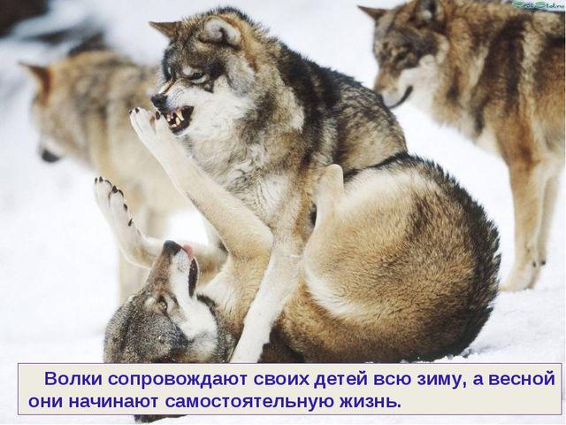 Волки сопровождают своих детей всю зиму, а весной они начинают самостоятельн...