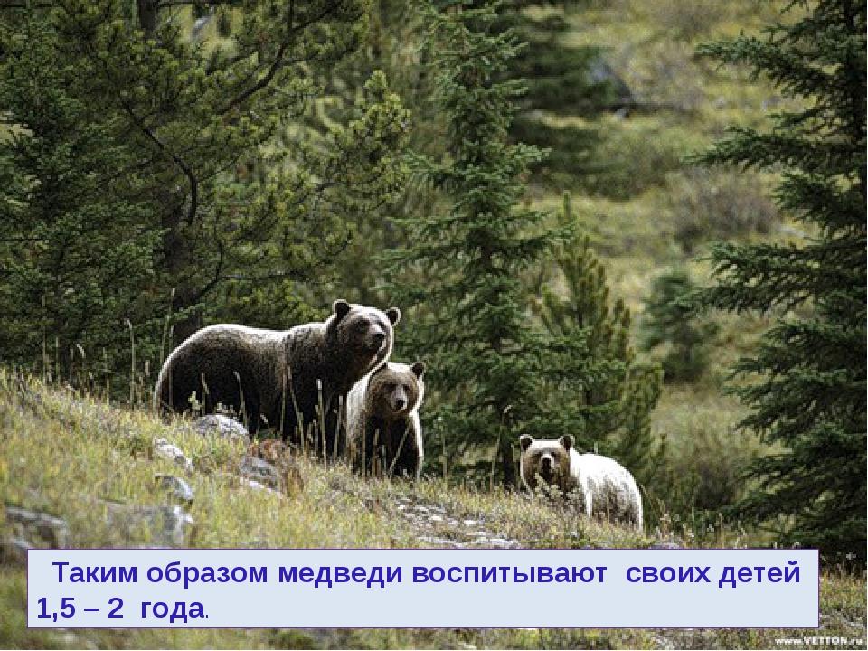 Таким образом медведи воспитывают своих детей 1,5 – 2 года.