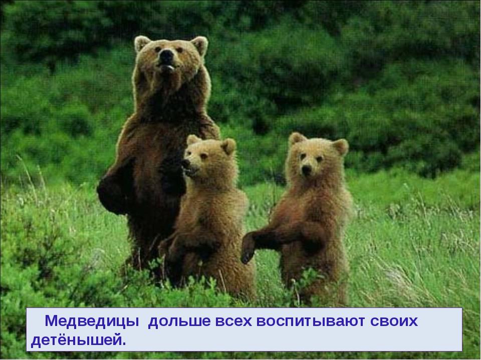 Медведицы дольше всех воспитывают своих детёнышей.