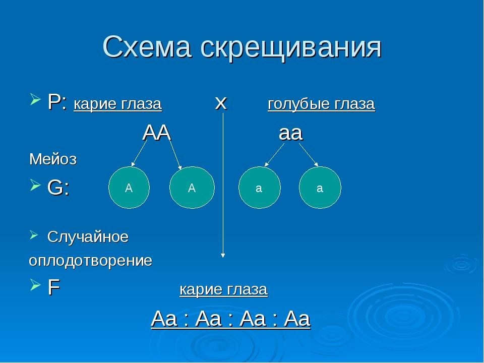 Схема скрещивания P: карие глаза x голубые глаза АА аа Мейоз G: Случайное опл...