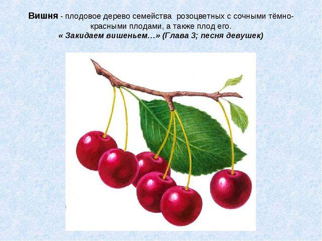Вишня - плодовое дерево семейства розоцветных с сочными тёмно-красными плодам...