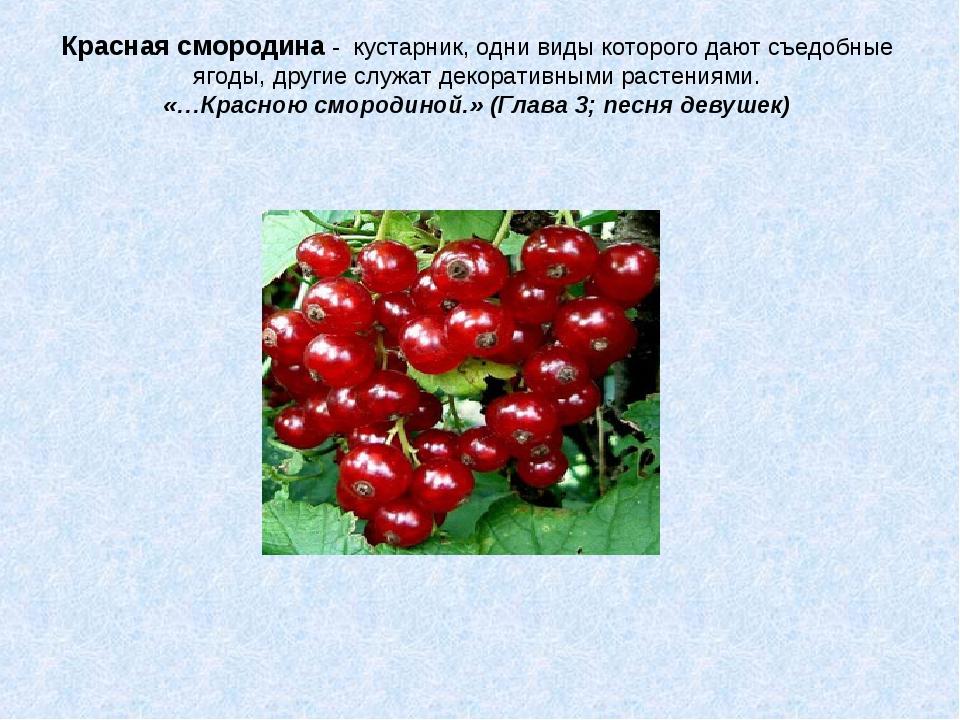 Красная смородина - кустарник, одни виды которого дают съедобные ягоды, други...