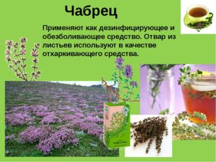 Чабрец Применяют как дезинфицирующее и обезболивающее средство. Отвар из лист
