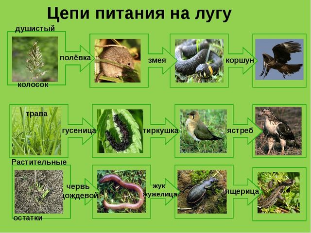 Цепи питания на лугу полёвка змея коршун душистый колосок ястреб гусеница ти...