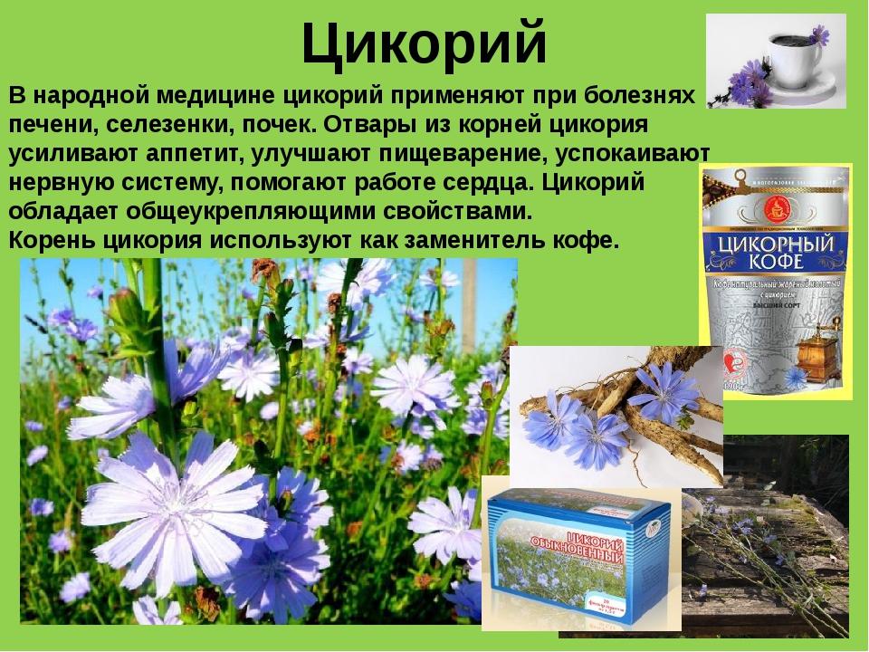 Цикорий В народной медицине цикорий применяют при болезнях печени, селезенки,...