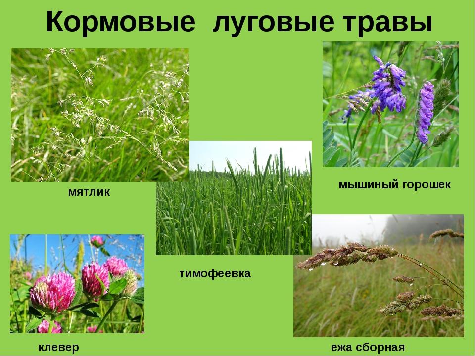Кормовые луговые травы мятлик тимофеевка ежа сборная мышиный горошек клевер