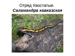 Отряд Хвостатые. Саламандра кавказская
