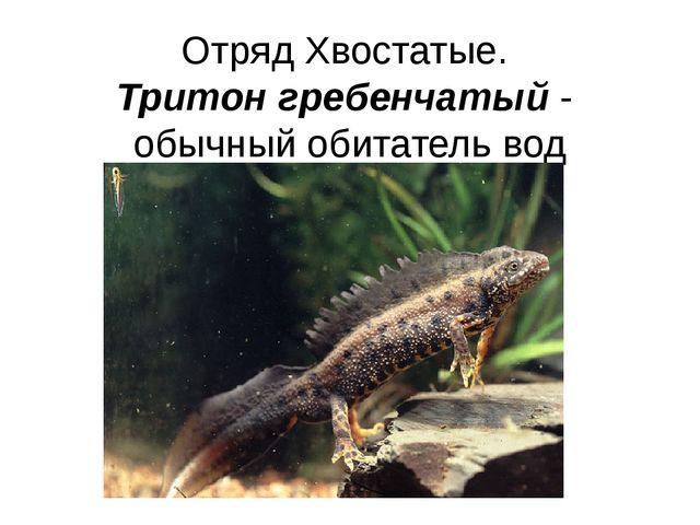 Отряд Хвостатые. Тритон гребенчатый - обычный обитатель вод умеренных широт