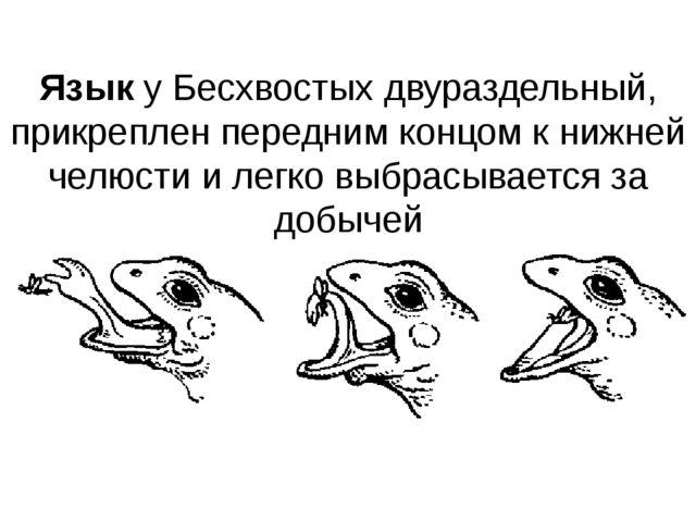 Язык у Бесхвостых двураздельный, прикреплен передним концом к нижней челюсти...