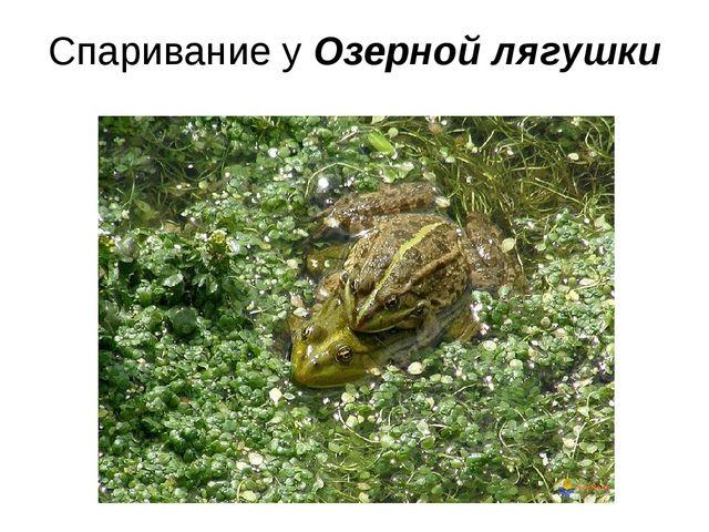Спаривание у Озерной лягушки