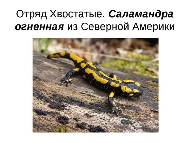 Отряд Хвостатые. Саламандра огненная из Северной Америки
