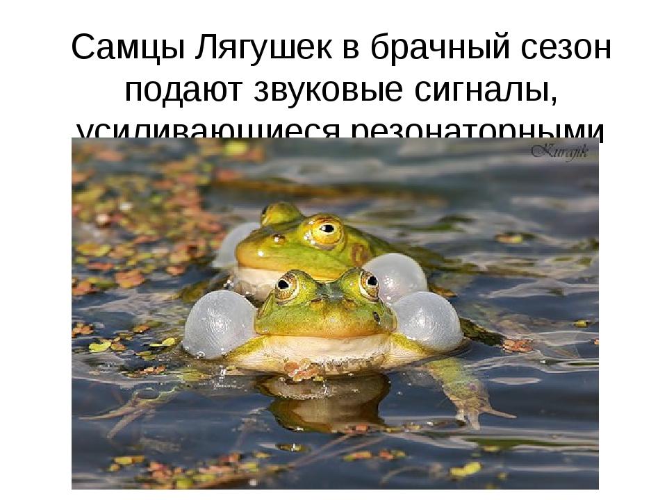 Самцы Лягушек в брачный сезон подают звуковые сигналы, усиливающиеся резонато...