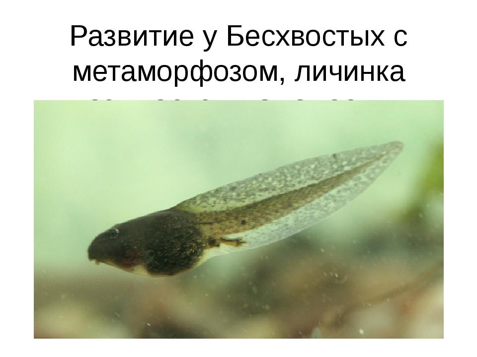 Развитие у Бесхвостых с метаморфозом, личинка называется головастик