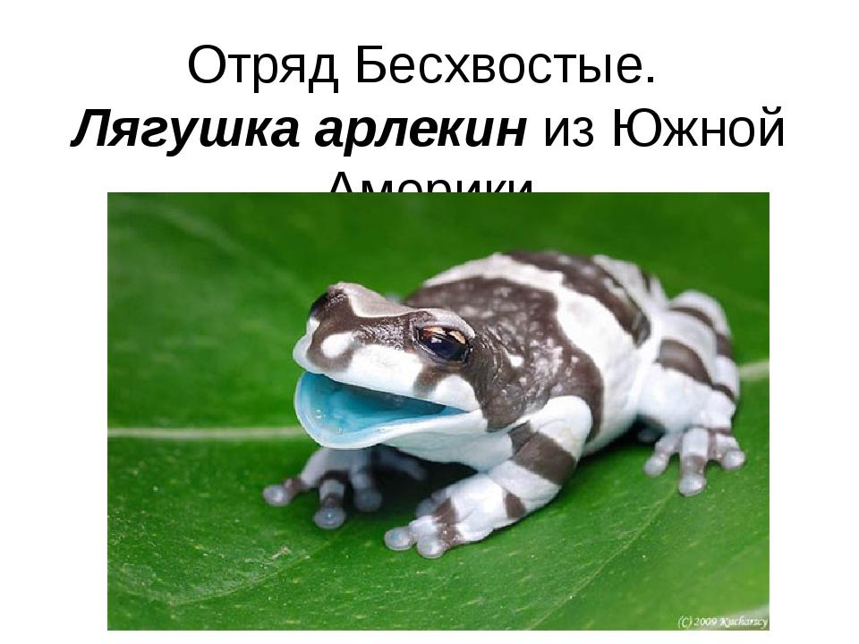 Отряд Бесхвостые. Лягушка арлекин из Южной Америки