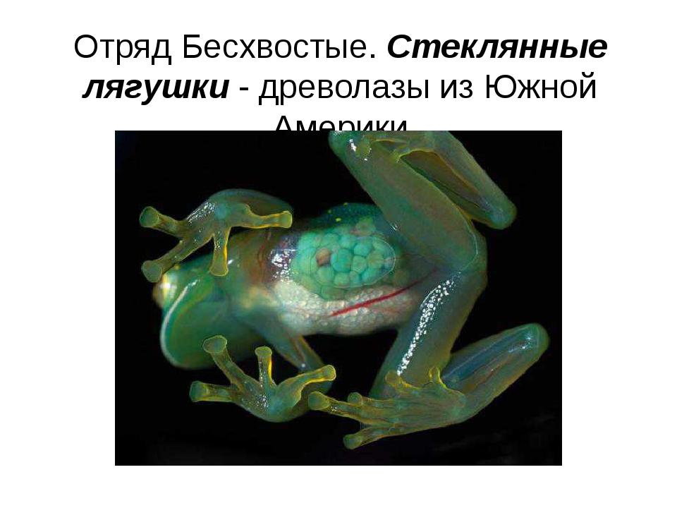 Отряд Бесхвостые. Стеклянные лягушки - древолазы из Южной Америки