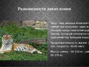 Разновидности диких кошек Тигр – вид хищных млекопитающих семейства кошачьих,