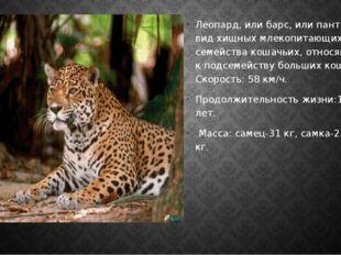 Леопард, или барс, или пантера – вид хищных млекопитающих семейства кошачьих