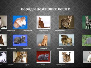 породы домашних кошек Сиамская персидская абиссинская бенгальская американска