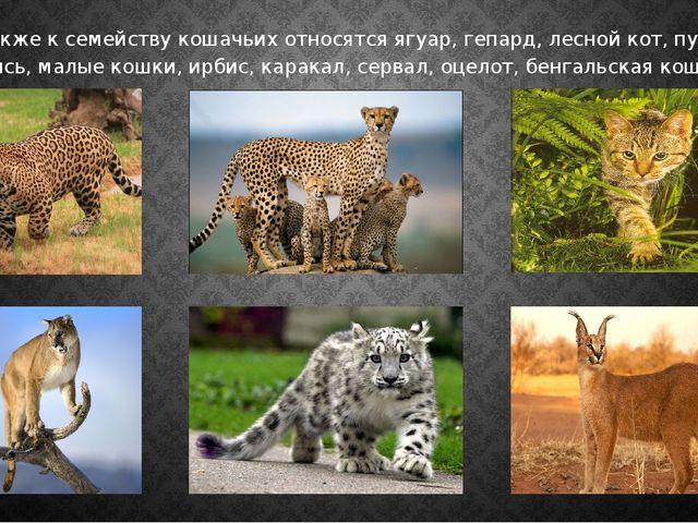 Также к семейству кошачьих относятся ягуар, гепард, лесной кот, пума, рысь,...