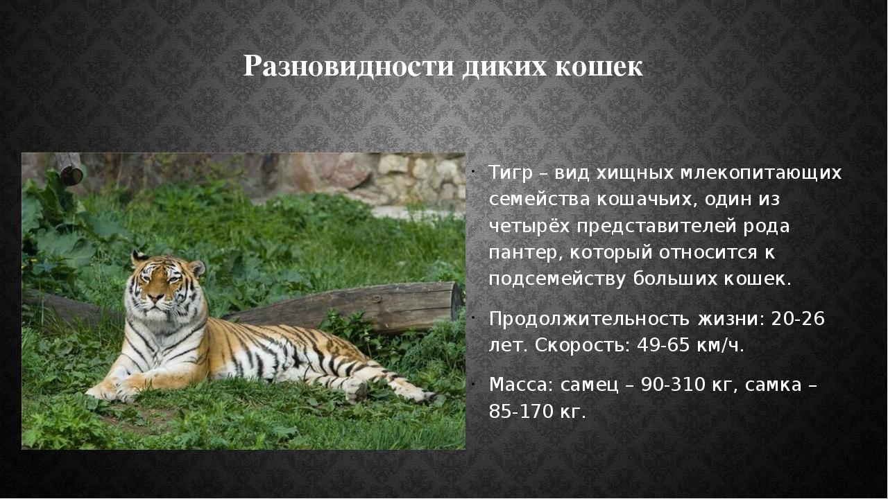 Разновидности диких кошек Тигр – вид хищных млекопитающих семейства кошачьих,...
