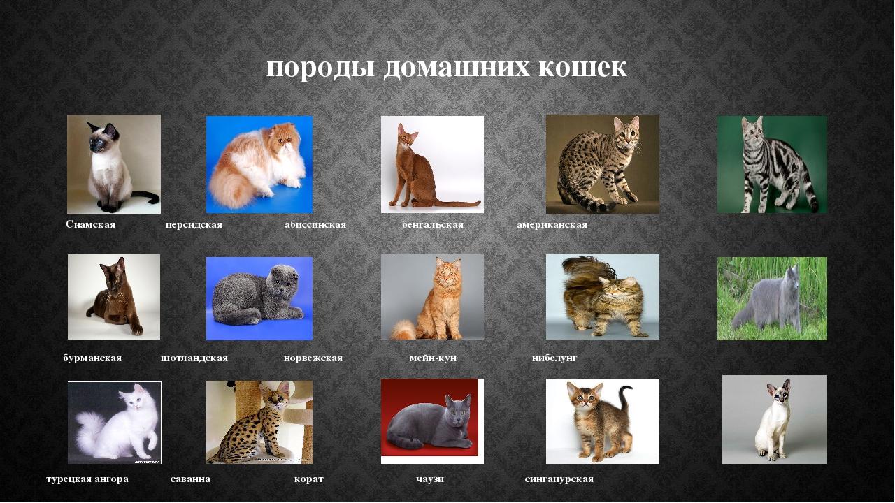 породы домашних кошек Сиамская персидская абиссинская бенгальская американска...