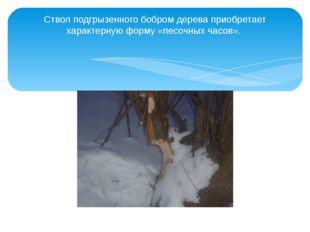 Ствол подгрызенного бобром дерева приобретает характерную форму «песочных час