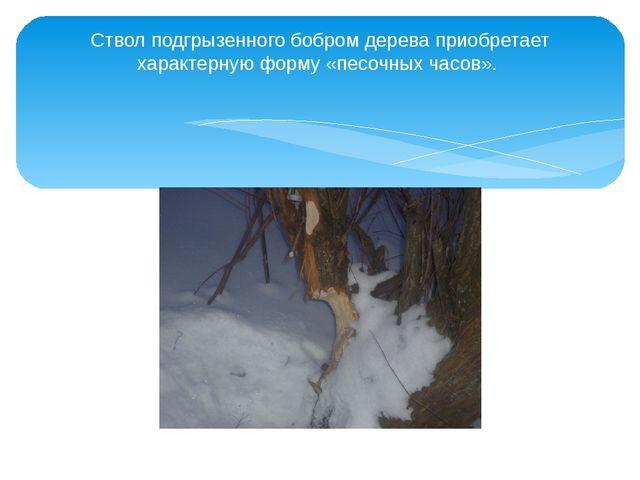 Ствол подгрызенного бобром дерева приобретает характерную форму «песочных час...