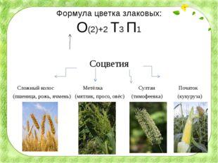 Формула цветка злаковых: О(2)+2 Т3 П1 Соцветия Сложный колос Метёлка Султан П