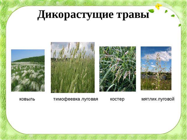 Дикорастущие травы ковыль тимофеевка луговая костер мятлик луговой