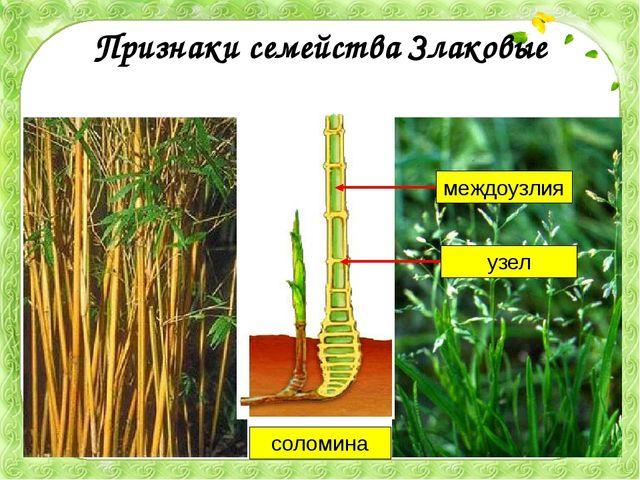 Признаки семейства Злаковые соломина узел междоузлия Что же объединяет бамбук...