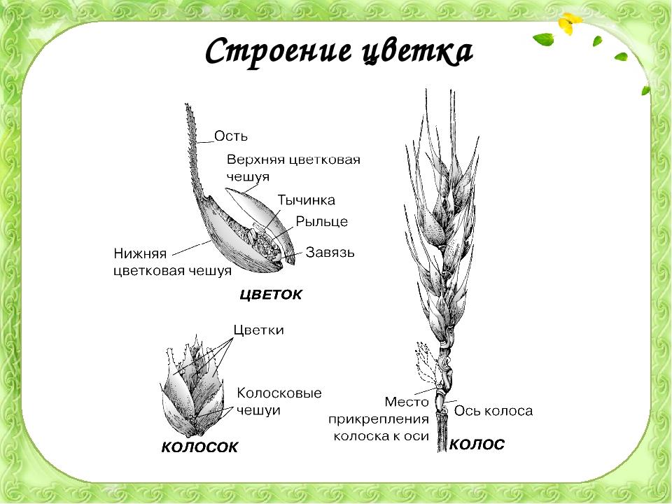 Строение цветка Соцветие пшеницы состоит из простых колосков. Каждый колосок...