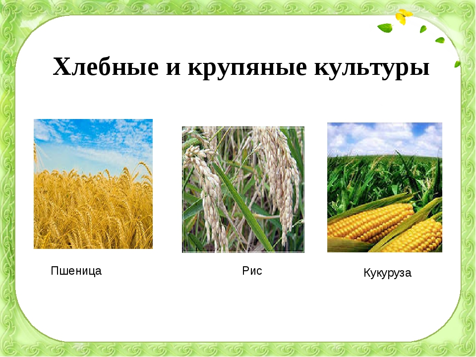 Хлебные и крупяные культуры Пшеница Рис Кукуруза