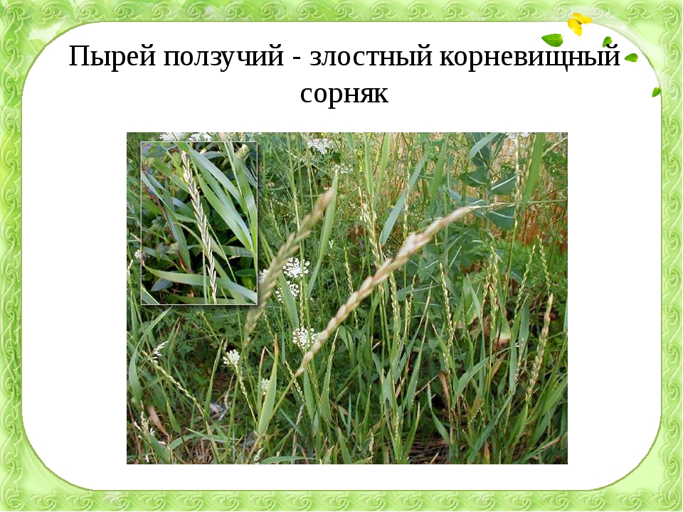Пырей ползучий - злостный корневищный сорняк