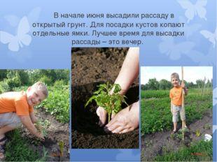 В начале июня высадили рассаду в открытый грунт. Для посадки кустов копают о
