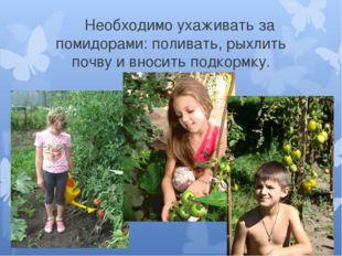 Необходимо ухаживать за помидорами: поливать, рыхлить почву и вносить подкор