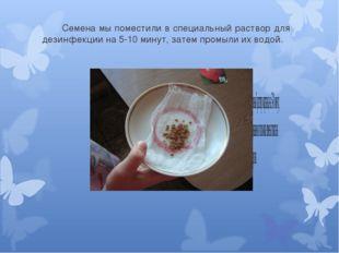 Семена мы поместили в специальный раствор для дезинфекции на 5-10 минут, за