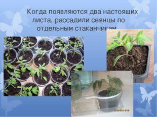 Когда появляются два настоящих листа, рассадили сеянцы по отдельным стаканчи