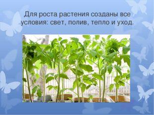 Для роста растения созданы все условия: свет, полив, тепло и уход.