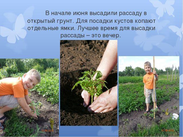 В начале июня высадили рассаду в открытый грунт. Для посадки кустов копают о...