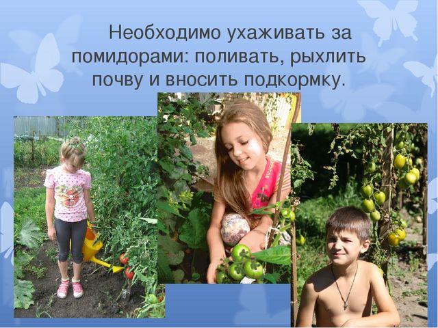 Необходимо ухаживать за помидорами: поливать, рыхлить почву и вносить подкор...
