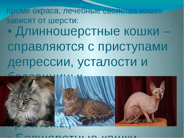 Кроме окраса, лечебные свойства кошек зависят от шерсти: • Длинношерстные кош...